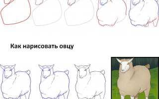 Овца рисунок карандашом. Как нарисовать овечку карандашом с цветком и конфетой