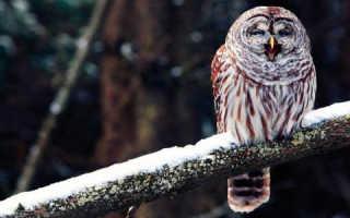 К чему снится сова на дереве женщине. Сонник сова, к чему снится сова, во сне сова