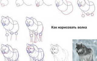 Как нарисовать волчонка поэтапно карандашом. Учимся рисовать волка