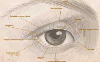 Как нарисовать глаза которые смотрят вниз. Рисуем человеческий глаз