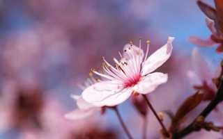Роль вишневого сада в пьесе вишневый сад. Главный герой «Вишнёвого сада»