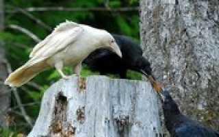 Что означает фразеологизм белая ворона. «Белая ворона»: значение фразеологизма
