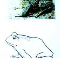 Учимся рисовать лягушку-путешественницу. В чём отличие жабы от лягушки