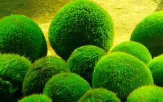 Зелёные водоросли. Зеленые водоросли: список основных видов и описание