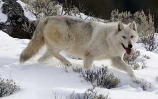 Рисуем животных: анатомия волка. Рисуем животных: кошки и их анатомия