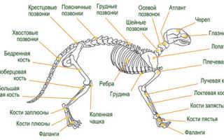 Как нарисовать кота карандашом поэтапно. Рисуем животных: кошки и их анатомия