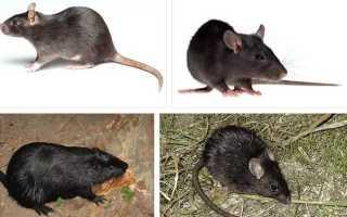 К чему снится черная крыса? К чему снятся крысы во сне женщине? Сонник крысы.